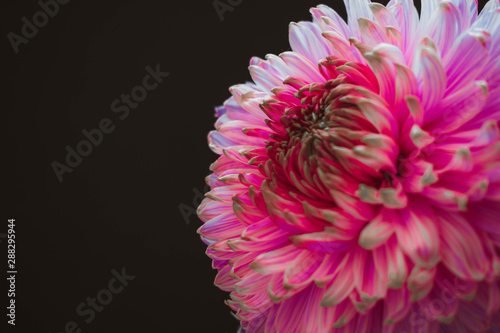 Poster de jardin Dahlia Pink natural flower in a vase in the black background. Background for a signboard, a picture, pink flowers.