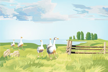 A Group Of Geese In The Wonderful Green Land Farm
