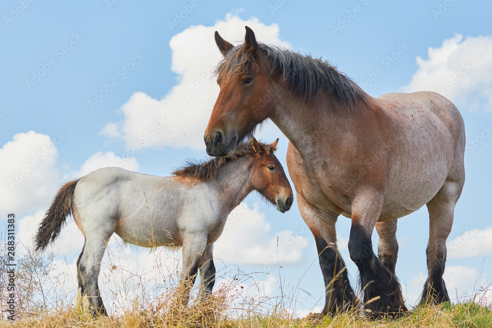 Fototapety, obrazy: Mare with foal close together