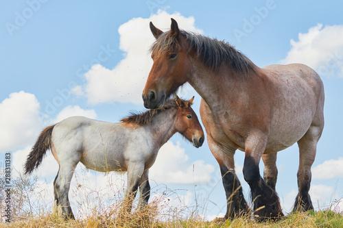 fototapeta na ścianę Mare with foal close together