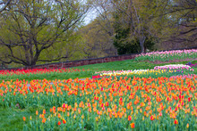 Colorful Tulip Beds At Iwo Jim...