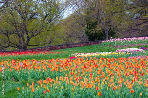 Obraz na plátne colorful tulip beds at iwo jima memorial in arlington virginia in spring
