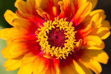 Colorful Zinnia At Us National...
