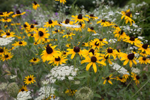 Black Eyed Susan And Queen Annes Lace Jug Bay Wetlands Sanctuary Butterfly Garden Anne Arundel County Southern Maryland Usa