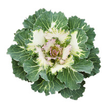 Green Ornamental Kale