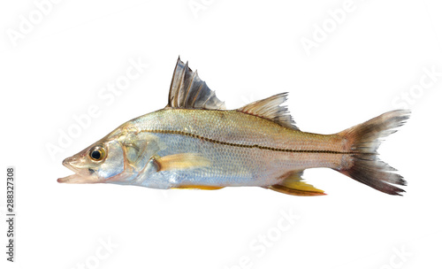 Fototapeta The common snook (Centropomus undecimalis) is a species of marine fish. Isolated on white background obraz
