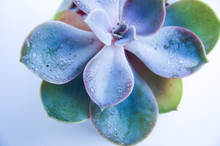 Gentle Succulent Echeveria Rosette On A White Background In Neon Light. Macro Shot Of A Green And Purple Succulent Houseplant With Dew Drops. Isolated On A White Background. Banner For Your Design.