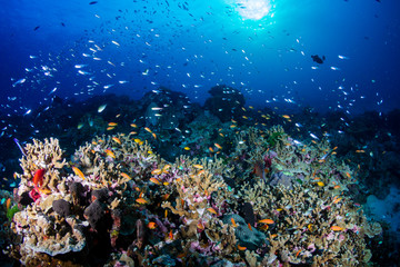 Fototapeta na wymiar Shoals of Tropical Fish Swimming on a Colorful Coral Reef