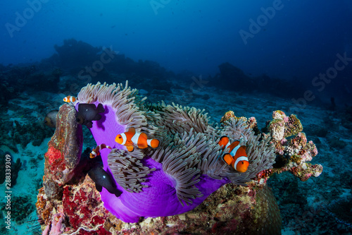 Foto op Aluminium Onder water Clownfish in their host anemone on a tropical coral reef