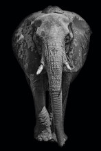 African Elephant On Dark Background In Black And White Image