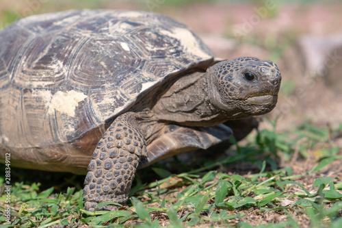 Fotografie, Tablou A close up of a Gopher Tortoise (Gopherus polyphemus) as it moves across a lawn