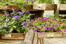 Popular Hanging Blue Mini Petunia And Verbena Are Presented At The Street Flower Market.