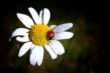 Ladybug On Daisy Flower In Summer Close-up On Dark Background