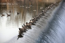 Canadian Geese In A Row