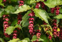 Flowering Nutmeg Or Himalayan Honeysuckle - Leycesteria Formosa Berries