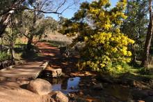 Walking Track, Creek And Wattle Tree In Flower, Whistlepipe Gully Walk, Mundy Regional Park, Perth Hills, Western Australia, Australia