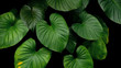 Green heart shaped bicolors leaves tropical plant on dark background