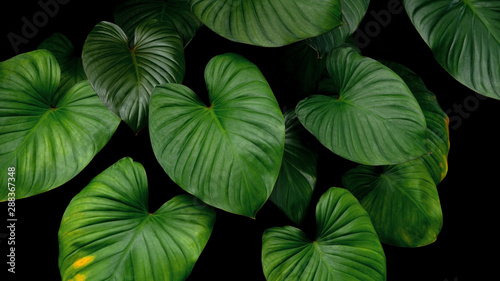 Photo Stands Plant Green heart shaped bicolors leaves tropical plant on dark background