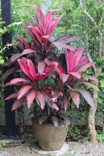 Cordyline Fruticosa Pink Leaf