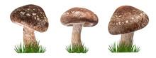 Shiitake Mushroom On The White Background And Green Grass