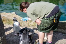 The Woman Feeds Penguins.The Gentoo Penguin Pygoscelis Papua Is A Penguin Species In The Genus Pygoscelis