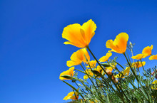 California Poppy Flowers (Eschscholzia Californica) On A Blue Sky Background. Blooming Cup Of Gold.Selective Focus.