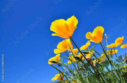 California Poppy flowers (Eschscholzia californica) on a blue sky background. Blooming Cup of gold.Selective focus. - 288390544