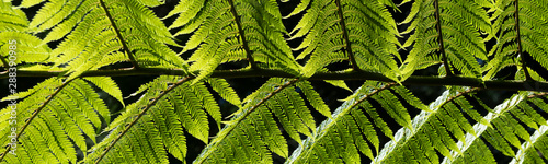 Fotografija  Dicksonia antarctica (soft tree fern, man fern) is a species of evergreen tree f