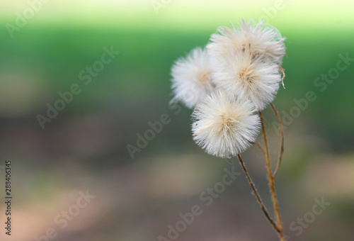 Fototapety, obrazy: photo close-up of several heads of dandelions on one stem