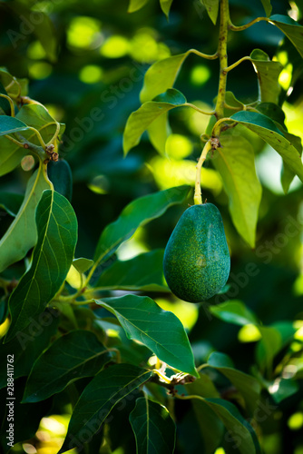 avocados growing on tree in orchard, mexicola avocado on tree, green fruit, green leaves, young tree bearing fruit, ripening avocado on tree, mexicola avocado turning black