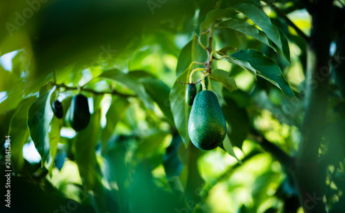 Vászonkép  avocados growing on tree in orchard, mexicola avocado on tree, green fruit, gree