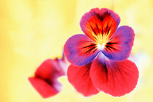 Love-in-idleness. Orange Purple Pansy Flower Close Up. Blooming Pansy Flower.