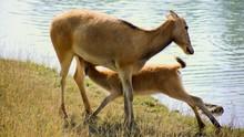 Mother Pere David's Deer Nursing Young