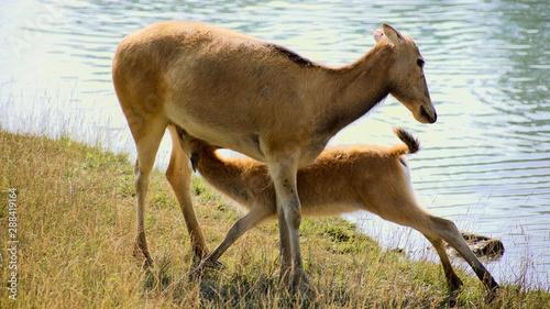 Canvas Print Mother Pere David's deer nursing young
