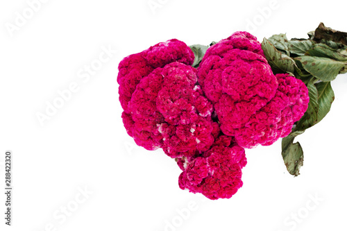 Obraz na plátně Flor de Terciopelo o Celosia, Mexican Flowers for offerings ofrendas in dia de