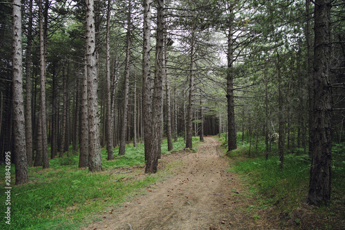 Path In A Pinewood Canvas-taulu