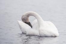 Beautiful White Trumpeter Swan...