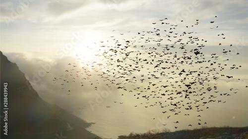 Fototapeta large group of flying bats, mega bats in the sky