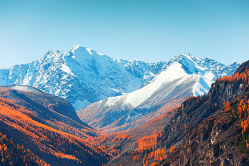Fototapeta Góry Snow-covered mountain peaks and yellow autumn trees. View of North-Chuya ridge in Altai, Siberia, Russia