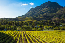 Vineyard Under A Mountain