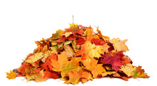 Pile Of Autumn Colored Leaves Isolated On White Background.A Heap Of Different Maple Dry Leaf .Red, Yellow And Colorful Foliage