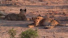 Two Lion Cubs Rest In The Dirt...