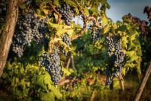 Grappoli D'uva Delle Colline Novaresi Quasi Pronti Per La Vendemmia, Novara, Piemonte, Italia