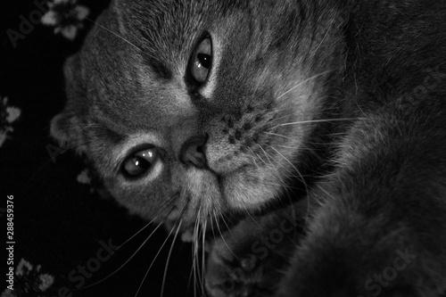 Canvas Prints Panther cat, animal, kitten, pet, eyes, feline, black, cute, fur, domestic, kitty, portrait, grey, white, gray, eye, pets, british, face, animals, black and white, whiskers, mammal