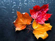 Red Maple Leaf On A Black Background In The Rain, Autumn, Fall