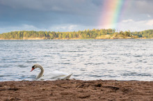 Two Swans Swimming Near The Shore On A Rainy September Day, With A Rainbow On The Background.