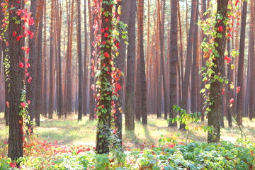 FototapetaPine forest with beautiful high pine trees against other pines with brown textured pine bark in summer in sunny weather
