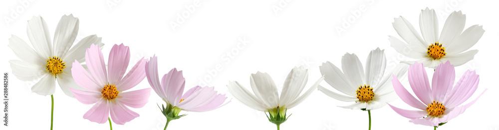 Fototapety, obrazy: isolated image of beautiful  flowers close-up