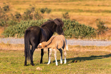 iceland foal is drinking by mother