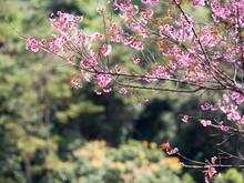Sakura Huai Nam Dang National ...
